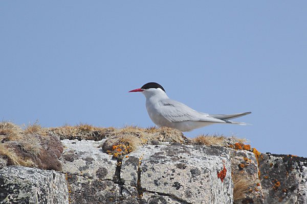 Antarctic Tern In The Rookery Canvas print by Carole-Anne Fooks