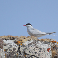 Buy canvas prints of Antarctic Tern In The Rookery by Carole-Anne Fooks
