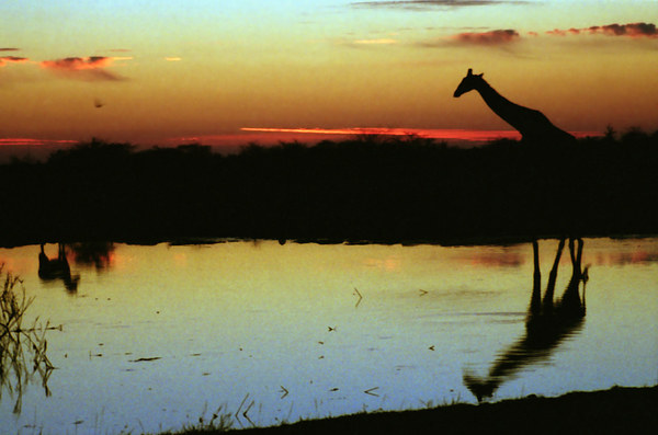 Giraffe at Sunset, Etosha, Namibia Canvas Print by Carole-Anne Fooks