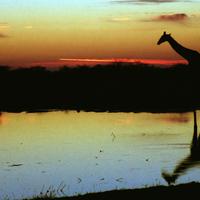 Buy canvas prints of Giraffe at Sunset, Etosha, Namibia by Carole-Anne Fooks