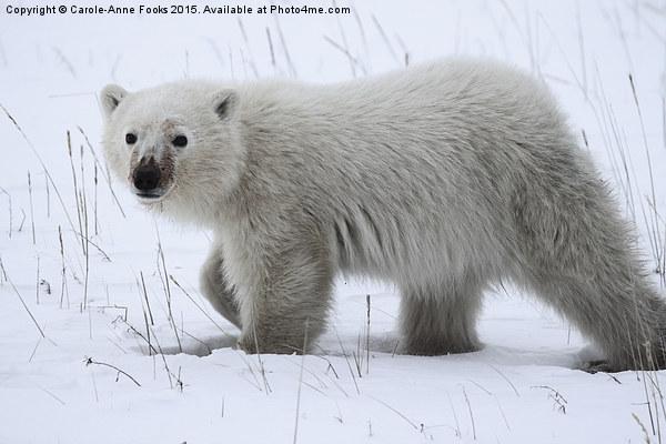 Baby Polar Bear Canvas print by Carole-Anne Fooks