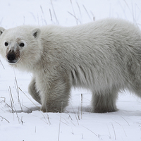 Buy canvas prints of   Baby Polar Bear by Carole-Anne Fooks