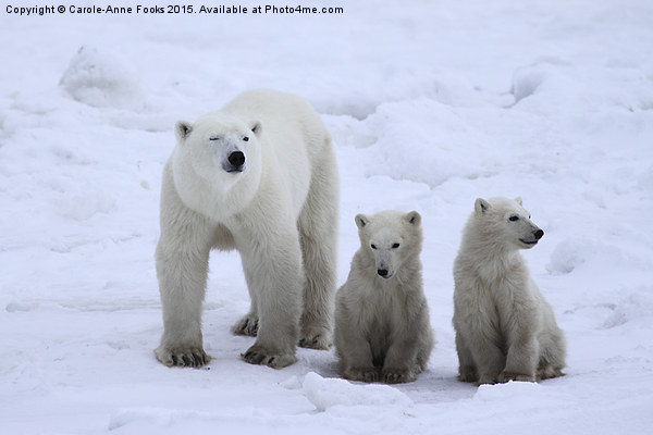 Polar Bear Family Portrait Canvas print by Carole-Anne Fooks