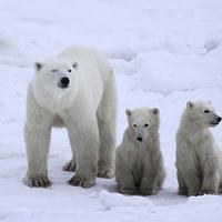 Buy canvas prints of  Polar Bear Family Portrait by Carole-Anne Fooks