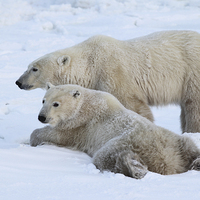 Buy canvas prints of  Polar Bears, Churchill, Canada by Carole-Anne Fooks