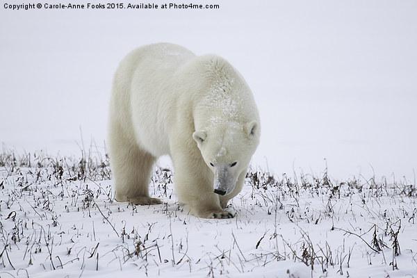 Large Male Polar Bear on the Tundra  Canvas print by Carole-Anne Fooks