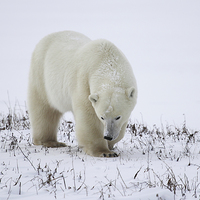 Buy canvas prints of Large Male Polar Bear on the Tundra  by Carole-Anne Fooks