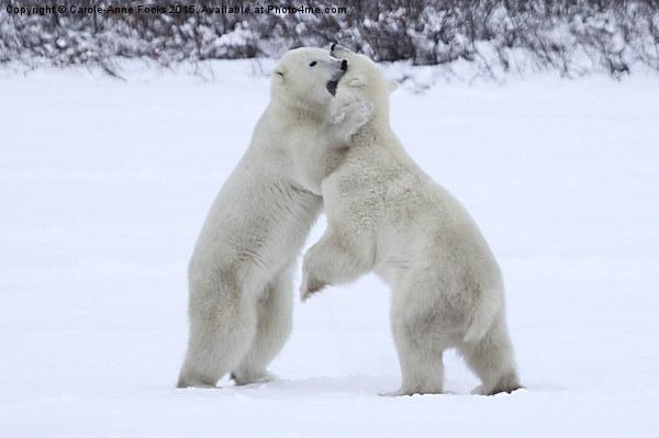 Polar Bear Skirmish  Canvas print by Carole-Anne Fooks