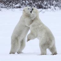 Buy canvas prints of Polar Bear Skirmish  by Carole-Anne Fooks