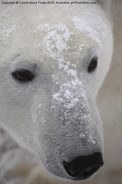 Polar Bear Portrait Canvas print by Carole-Anne Fooks