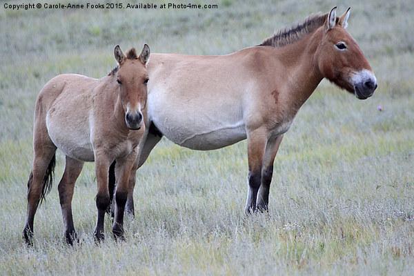 Przewalski's Horses, Mongolia Canvas Print by Carole-Anne Fooks
