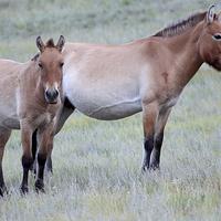 Buy canvas prints of  Przewalski's Horses, Mongolia by Carole-Anne Fooks
