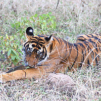Buy canvas prints of Male Bengal Tiger by Carole-Anne Fooks