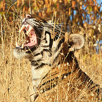 Buy canvas prints of Yawn: Sub-Adult Male Bengal Tiger by Carole-Anne Fooks