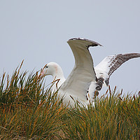 Buy canvas prints of Wandering Albatross Catching a Thermal by Carole-Anne Fooks
