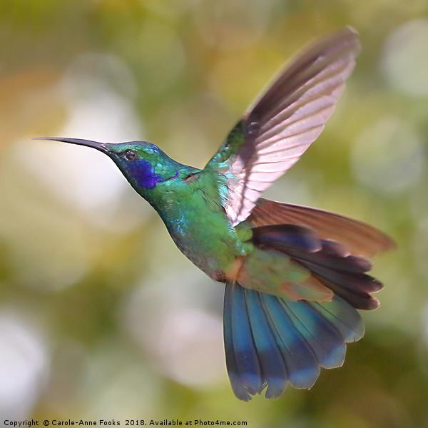 Green Violetear Hummingbird, Colibri thalassinus,  Canvas print by Carole-Anne Fooks