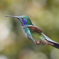 Buy canvas prints of Green Violetear Hummingbird by Carole-Anne Fooks