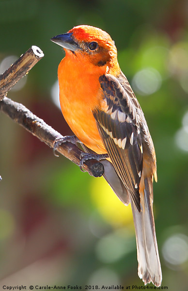 Baltimore Oriole Framed Mounted Print by Carole-Anne Fooks