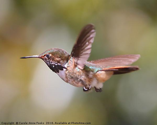 Scintillant Hummingbird Canvas print by Carole-Anne Fooks