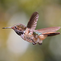 Buy canvas prints of Scintillant Hummingbird by Carole-Anne Fooks