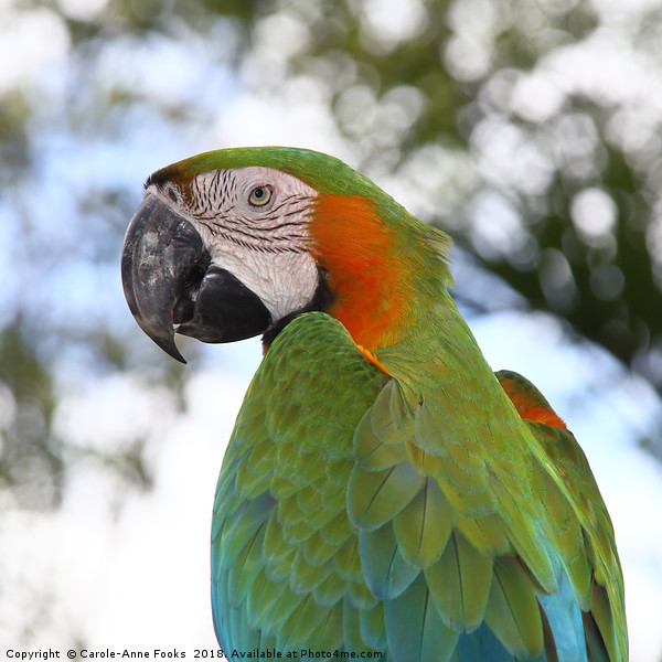 Harlequin Macaw Portrait Canvas print by Carole-Anne Fooks