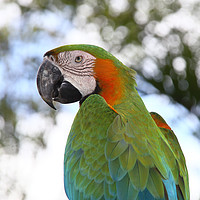 Buy canvas prints of Harlequin Macaw Portrait by Carole-Anne Fooks