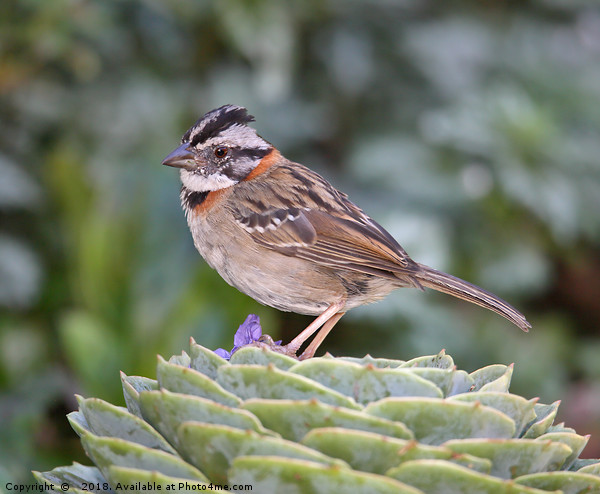 Rufous-collared Sparrow Print by