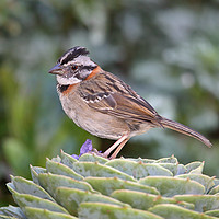 Buy canvas prints of Rufous-collared Sparrow by