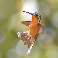 Buy canvas prints of  Hummingbird Acrobatics by