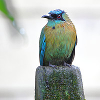 Buy canvas prints of Blue-crowned Motmot by Carole-Anne Fooks