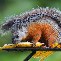 Buy canvas prints of Variegated Squirrel by Carole-Anne Fooks