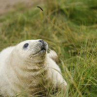 Buy canvas prints of Seal Pup by Pam Sargeant