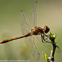 Buy canvas prints of Dragon Fly by Luke Addison