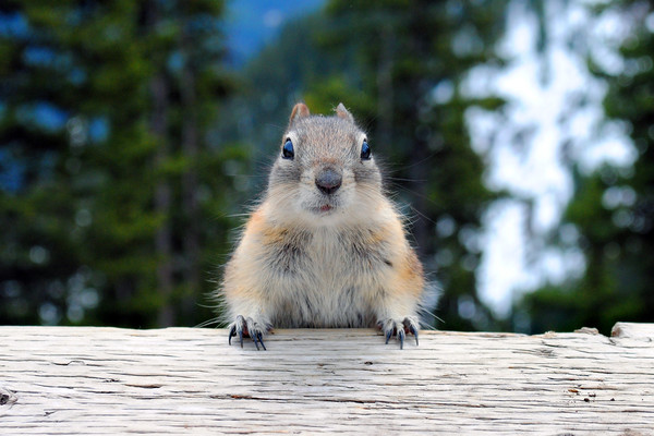 Chipmunk in Banff Alberta in Canada Framed Mounted Print by Andy Evans