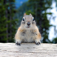 Buy canvas prints of Chipmunk in Banff Alberta in Canada by Andy Evans