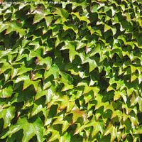 Buy canvas prints of Virginia creeper by Jennifer Watson