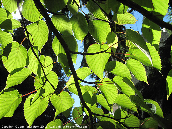 Backlit Lime Leaves Canvas print by Jennifer Watson