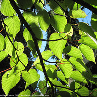 Buy canvas prints of Backlit Lime Leaves by Jennifer Watson