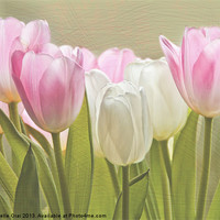 Buy canvas prints of Translucent Tulips by Michelle Orai