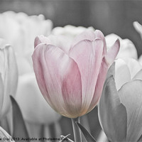 Buy canvas prints of Hint of Pink by Michelle Orai