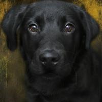 Buy canvas prints of Black Lab Pup by Michelle Orai