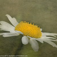 Buy canvas prints of Soft Daisy by Michelle Orai