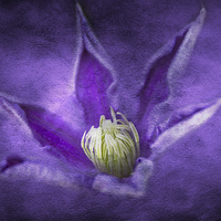 Buy canvas prints of Clematis by Michelle Orai