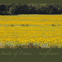 Buy canvas prints of South of France Sunflowers by Michelle Orai