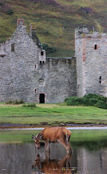 Deer at Lochranza Framed Print by Claire McQueen