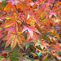 Buy canvas prints of Autumn Leaves by Tony Murtagh