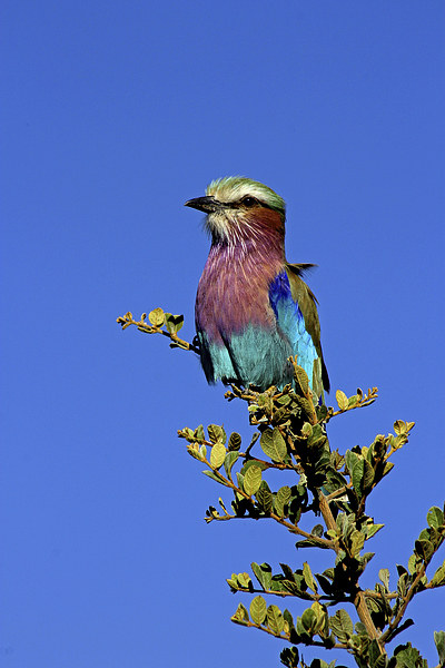 Lilac Breasted Roller Canvas Print by Tony Murtagh