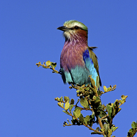 Buy canvas prints of  Lilac Breasted Roller by Tony Murtagh