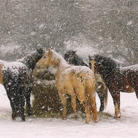 Buy canvas prints of Horses in Snow by Colin Tracy