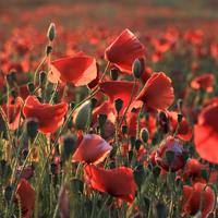 Buy canvas prints of Poppies near Poundbury 2, Dorchester, Dorset, UK by Colin Tracy